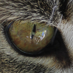 cat eye watching you stock